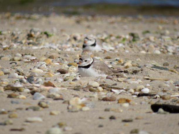 A pair of piping plover resting in the sand at Louse Point in East Hampton in late March.