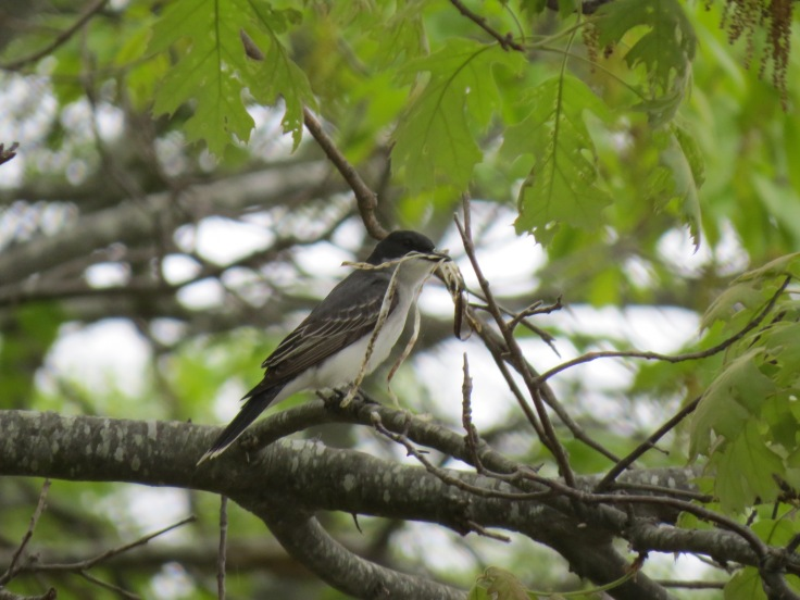 Eastern kingbird with nesting material