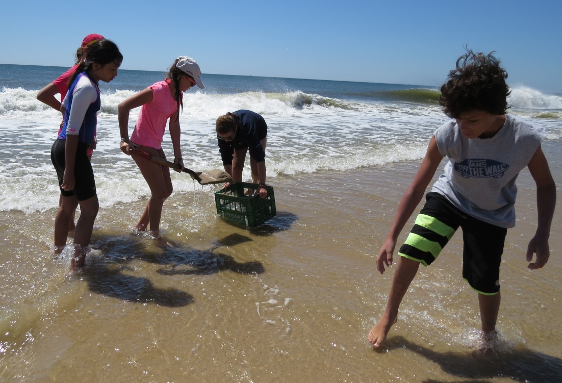 Digging for mole crabs in the swash zone.