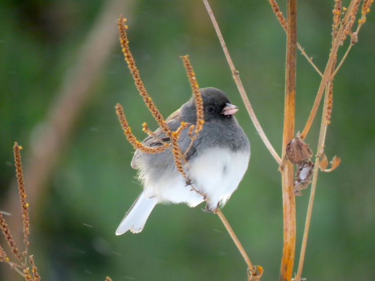 Flocks of juncos and white throated sparrows feed on seeds not completely covered in snow
