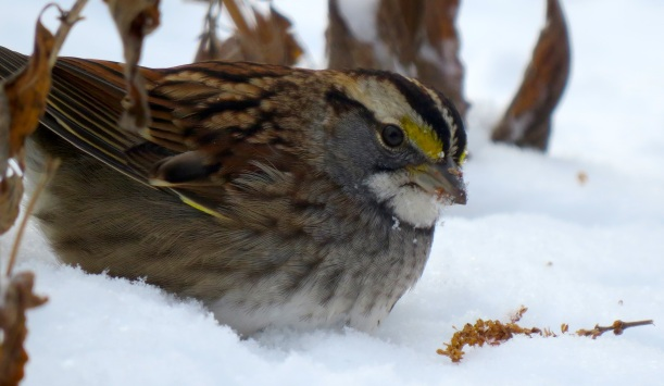 White-throated sparrow feeds on a flower seedhead.