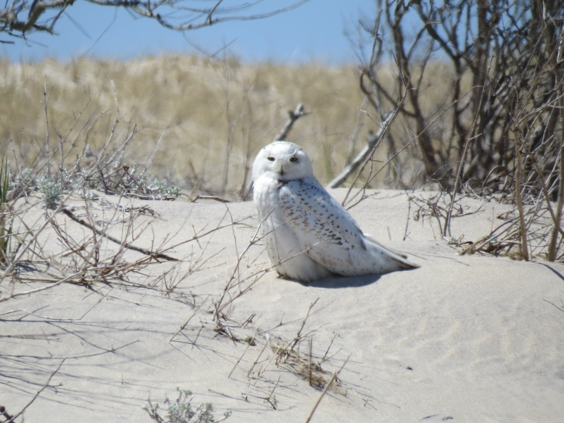 Snowy owl on dune at Wainscott Pond.