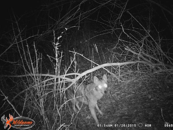 Coyote caught on camera in Bridgehampton on January 20, 2015