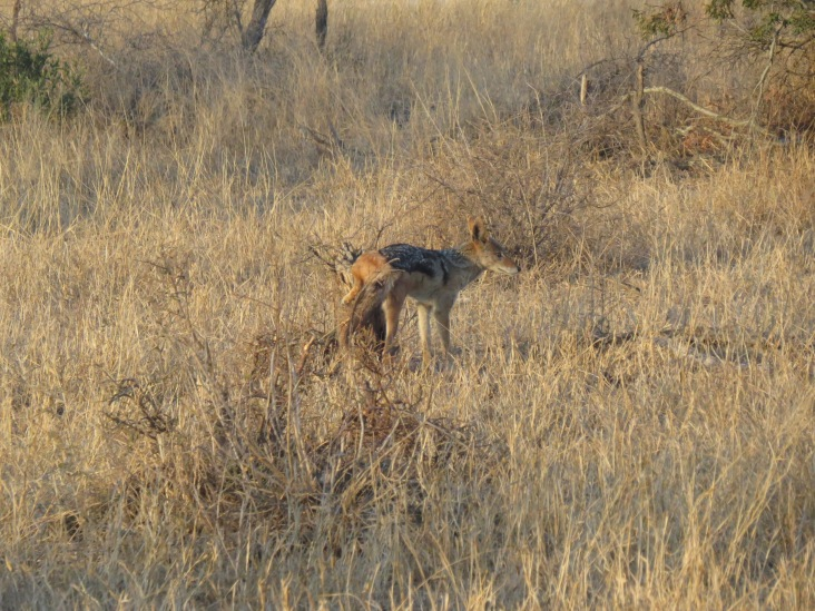 jackal scent marking