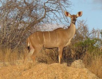 kudu female
