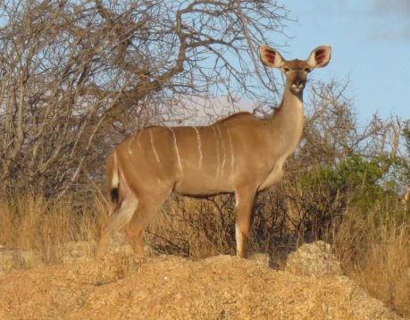 kudu female