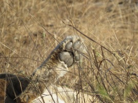 lioness rear paw
