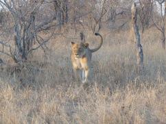 lioness walk 2